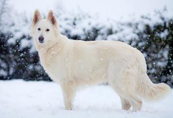 Pastore svizzero bianco sotto la neve