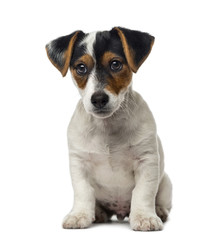 Jack Russell Terrier puppy (2 months old)