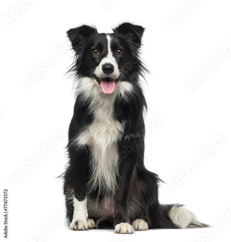 Foto Spatwand Hond Border Collie (2 years old)
