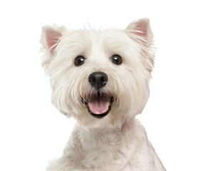 Close-up of a Maltese
