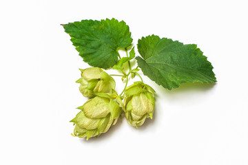 Ripe green hop cones with leafs