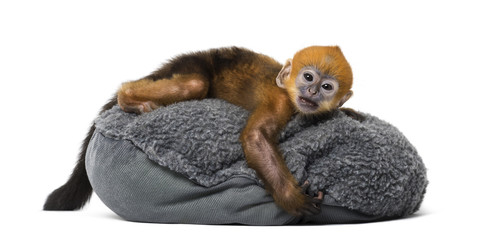 Baby Francois Langur lying on a pillow (1 month)