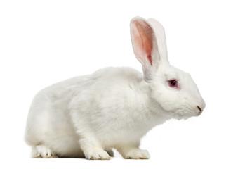 White rabbit (7 months old)