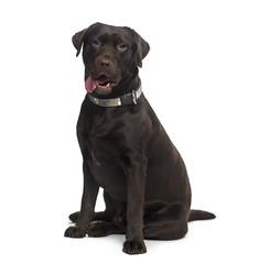 Labrador Retriever (1 year old)