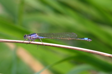 Blue-tailed Damselfly Dragonfly