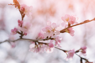 flower on sakura tree closeup