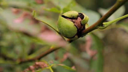 the walnut on the branch