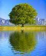 canvas print picture - Baum Laubbaum mit Spiegelung im See
