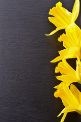 Bouquet of yellow daffodils. Isolated on black background