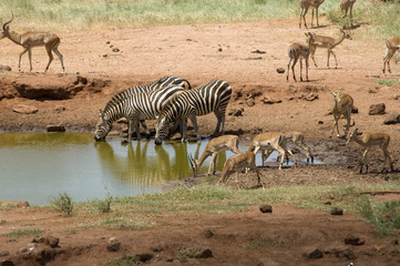 Zebra are drinking