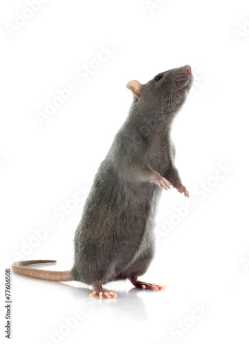 gray rat - 77686508