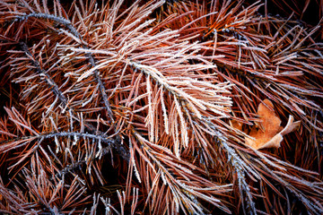 frozen needles on pine brunch