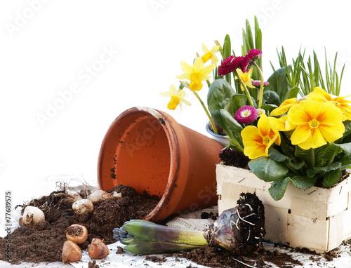Foto op Plexiglas Narcis Frühlingsblumen pflanzen