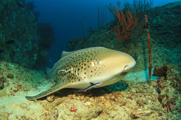 Leopard Shark (also known as Zebra Shark) (Triakis semifasciata)