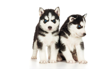 Two cute husky puppies