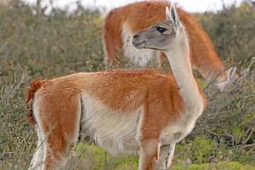 Guanaco in the Patagonian Steppes