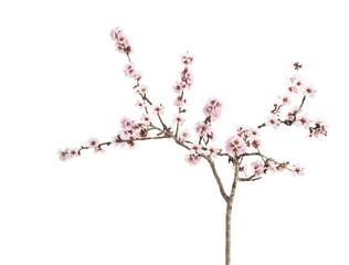 almond flower isoated