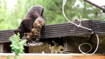 Hauskatzen wildlebend