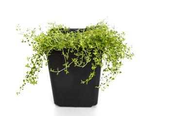 Common Garden Thyme