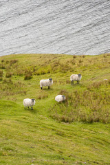 Four sheep on a green pasture with lake in the background