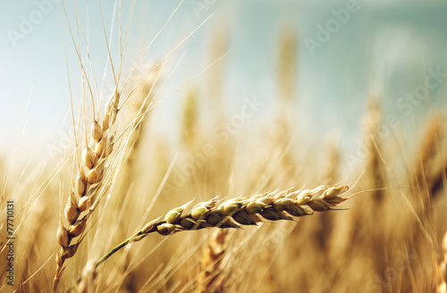 golden wheat field and sunny day - 77710131