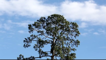 a pine tree is swaying in the wind