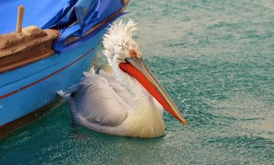 Pelican on Water, Pelican,Seabird