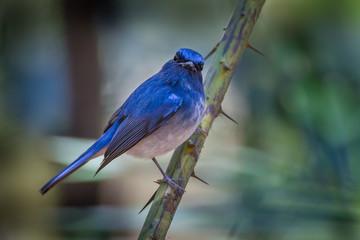 Hainan blue flycatcher (Cyornis hainanus) on the branch