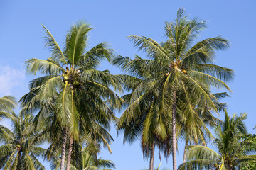 Coconut palm tree and blue sky in Thailand