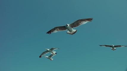 Gabbiani in volo video