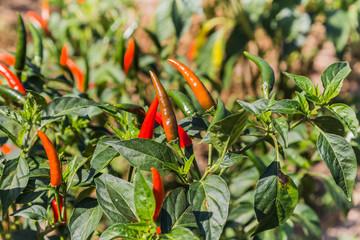 chili pepper on tree in farm