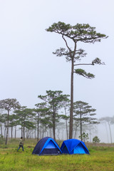 Pine forest in the mist