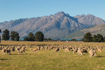 flock of sheep grazing in Southern Alps in New Zealand