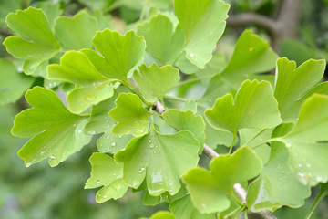Branch of the Ginkgo two-bladed (Ginkgo biloba L.) with green le