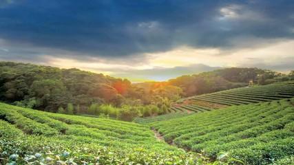 Green tea garden in sunset