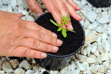 Firming tomato seedling © Arena Photo UK