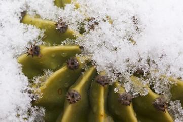 neve su una pianta grassa