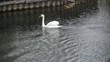 White swans on the water