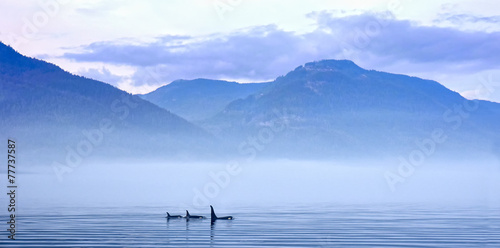 Fotobehang Canada Schwertwale in Landschaft, Killerwal bzw Orca, Orcinus orca