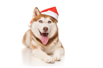 Redhead husky  with santa hat