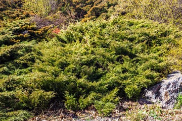 Evergreen juniper branches near the gray stone