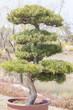 canvas print picture - Bonsai