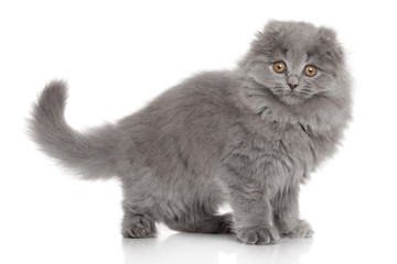 Scottish Highland fold kitten