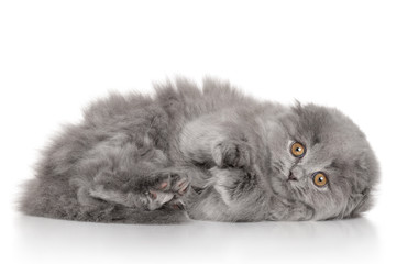 Scottish Highland fold kitten. Portrait on white background