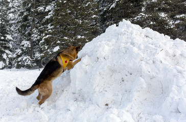 Mountain Rescue Service dog at Bulgarian Red Cross during a trai