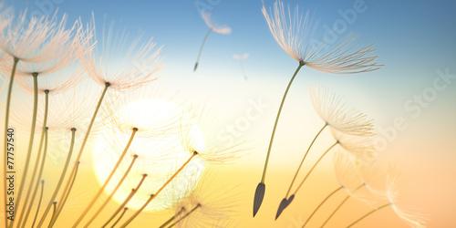 Pusteblume Sommerabend - 77757540