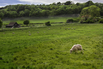 Sheep farm in Sussex, England