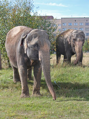 Two Indian elephant walking in a meadow near multistory building
