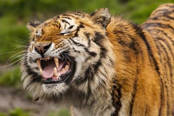 Bengaalse tijger trekt gekke bek.