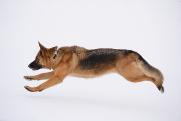 German Shepherd Dog runs For the Toy in Winter